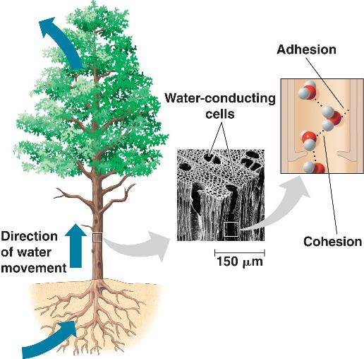adhesion and cohesion Adhesion : cohesion : about : adhesion is the term that refers towards the inter-molecular forces between different kinds of molecules cohesion is the term that refers towards the.