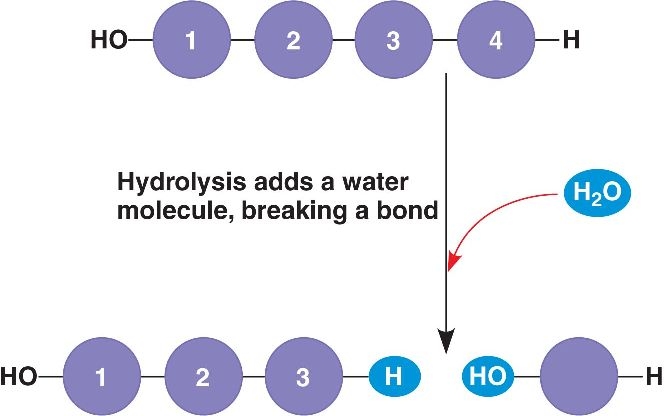 Hydrolysis Reaction Hydrolysis reaction Protein Hydrolysis Reaction