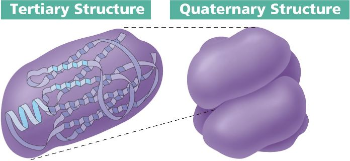 Some proteins possess quaternary structure that results from the    Quaternary Structure