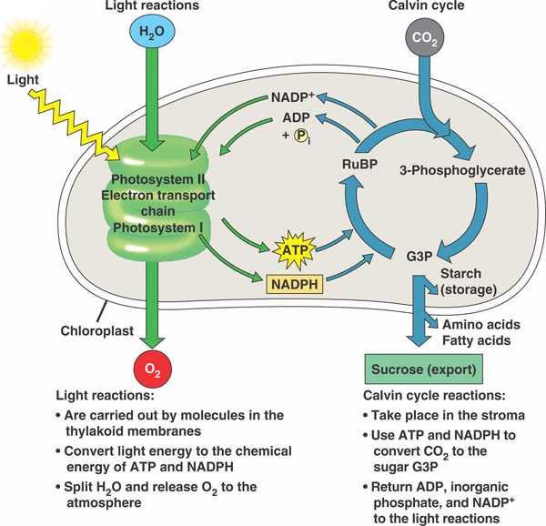 relationship between photosynthesis and cellular respiration