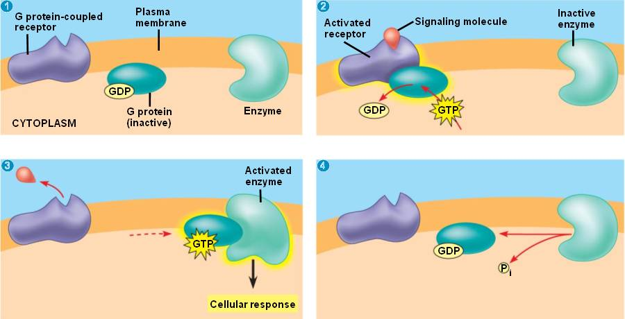 protein linked ... G Protein Coupled Receptors Diagram
