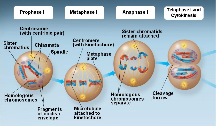 Meiosis Prophase 1