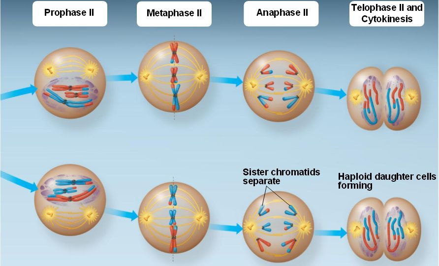 The Greenhouse Effect besides Redalgae additionally Meiosis II likewise Mitosis additionally Phases Of Mitosis. on meiosis diagram labeled