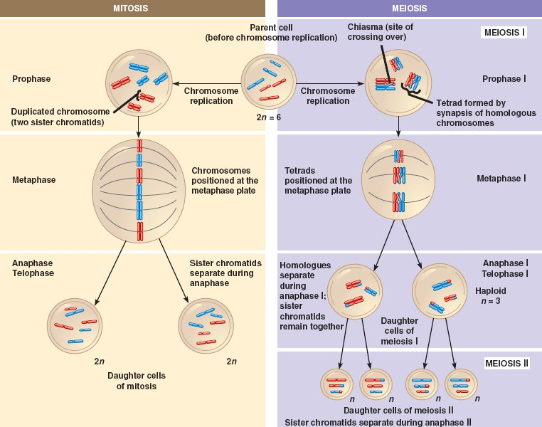 Human life cycle meiosis - photo#22