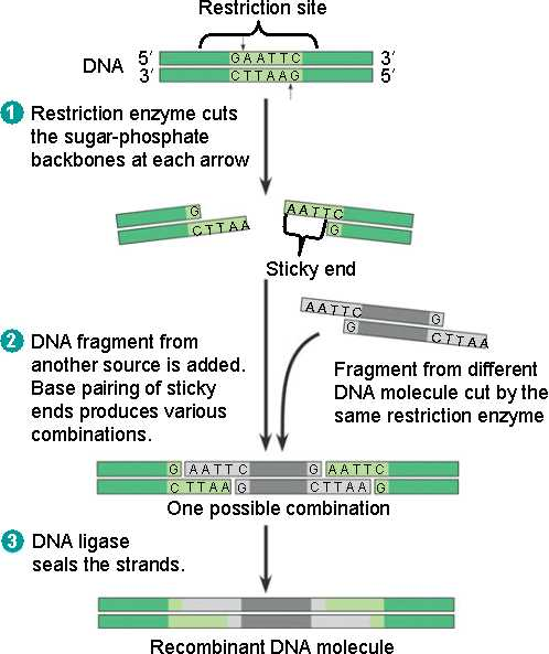 ligation restriction enzymes Restriction enzymes are nucleases - enzymes that cut nucleic acid polymers (ie dna and rna) there are two types of nuclease: endonuclease and exonuclease endonucleases make cuts within a.