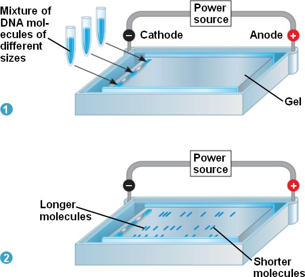 an analysis of the process of dna electrophoreses
