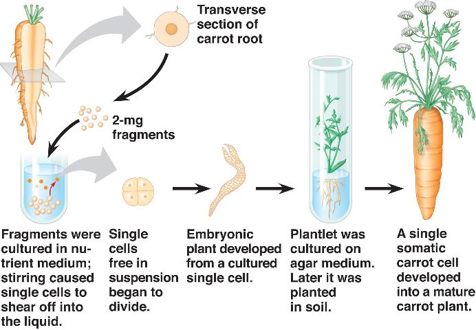 Totipotency: Meaning, Expression and Importance | Plant Tissue Culture