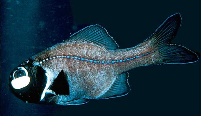 Flashlight fish are three families of fish that exhibit pockets of flashlight fish are three families of fish that exhibit pockets of bioluminescence underneath their eyes sciox Gallery
