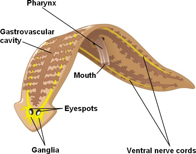 a comparison of reproductive systems nemerteans and turbellaria phylum plateyhelminthes Phylum platyhelminthes nervous system demonstrates that this phylum has reached the organ system level of reproductive system study questions.