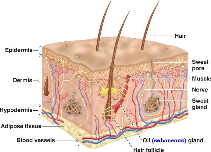 Insert Awesome Name Here Integumentary System
